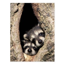 Baby raccoons in tree cavity Procyon Postcard