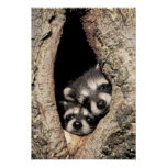 Baby raccoons in tree cavity Procyon Poster