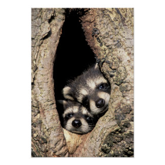 Baby raccoons in tree cavity Procyon Print