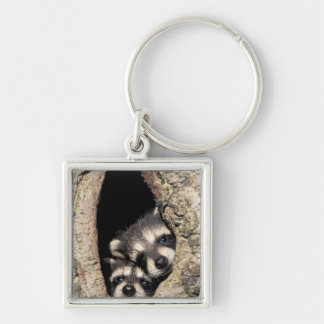 Baby raccoons in tree cavity Procyon Silver-Colored Square Keychain