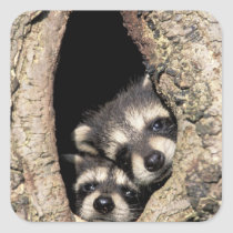 Baby raccoons in tree cavity Procyon Square Sticker