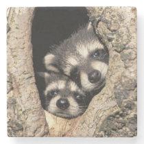 Baby raccoons in tree cavity Procyon Stone Coaster