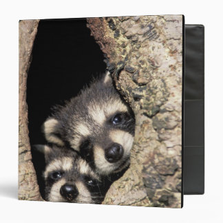 Baby raccoons in tree cavity Procyon Vinyl Binders