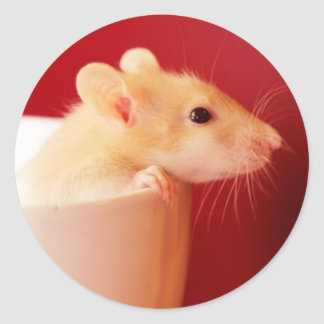Baby rat in teacup. classic round sticker