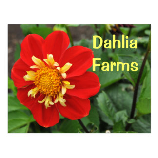 Baby Red Dahlia Postcard