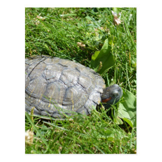 Baby Red Eared Slider Turtle Postcard