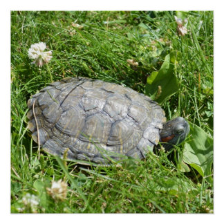 Baby Red Eared Slider Turtle Poster