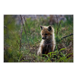 Baby Red Fox Outside Of Den Poster