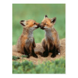 Baby Red Foxes Postcard