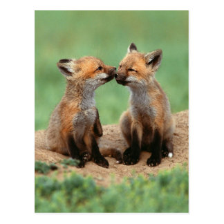 Baby Red Foxes Post Cards