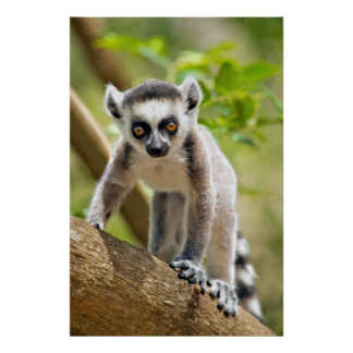 Baby ring-tailed lemur poster
