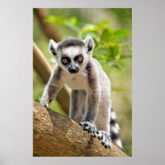 Baby ring-tailed lemur poster