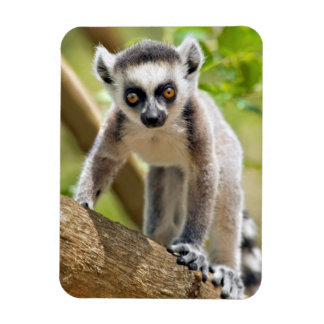 Baby ring-tailed lemur rectangular photo magnet