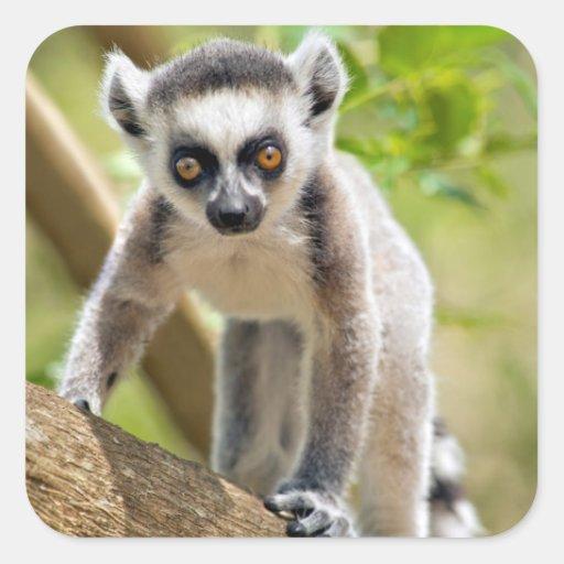 Ring tailed lemur baby sale - photo#22