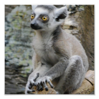 Baby Ringtailed Lemur Poster