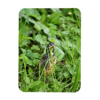 Baby Robin in the Grass Rectangular Photo Magnet