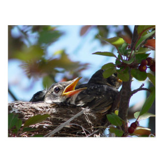 Baby Robins in the nest Postcard
