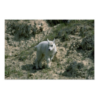 Baby Rocky Mountain Goat Poster