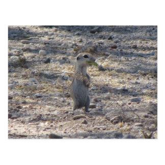 Baby Round-tail Ground Squirrel Postcard