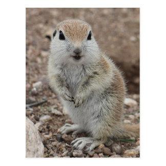 Baby Round-tailed Ground Squirrel Post Card