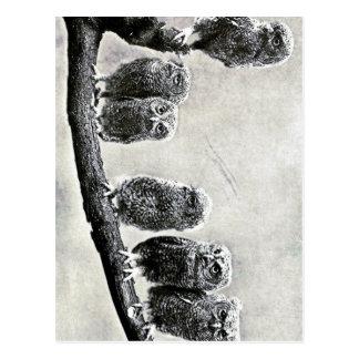 Baby Screech Owls Postcard