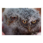 Baby Screech Owls Posters