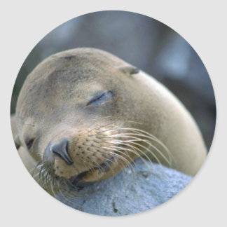 Baby sea lion, Galapagos Islands Classic Round Sticker