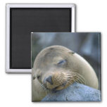 Baby sea lion, Galapagos Islands Fridge Magnets