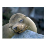 Baby sea lion, Galapagos Islands Post Card