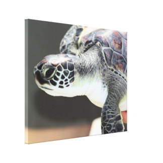 Baby Sea Turtle Stretched Canvas Print