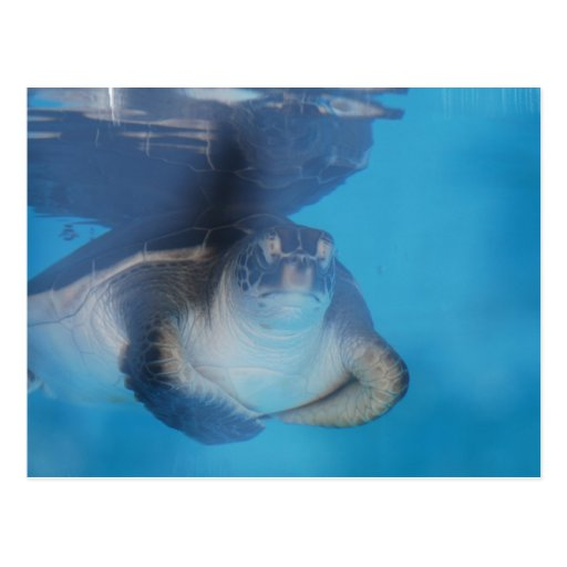 Baby Sea Turtle Postcard