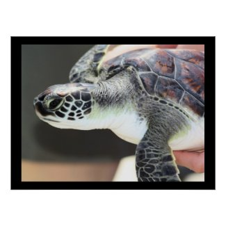 Baby Sea Turtle Poster print