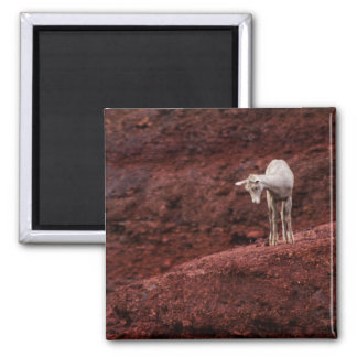 Baby sheep on red rocks magnet