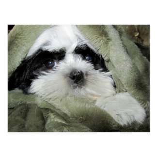 Baby Shih Tzu Puppy Peeking Out from Blanket Postcard