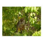 baby squirrel monkey postcards