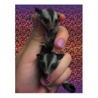 Baby Sugar Gliders Postcard