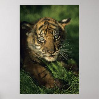 Baby Sumatran Tiger Poster