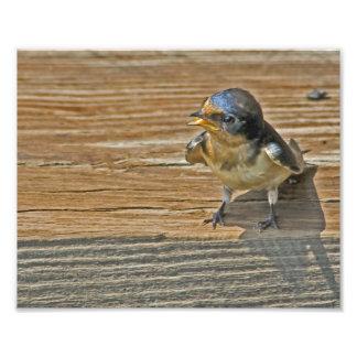 Baby Swallow Begging Photo Enlargement
