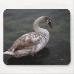 Baby swan mouse pad