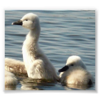 baby swans photo print