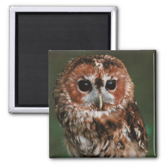 Baby Tawny Owl 2 Inch Square Magnet