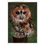 Baby Tawny Owl Greeting Cards