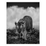 Baby Tiger stalking in Black and white Poster