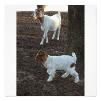 Baby triplet goat photo print