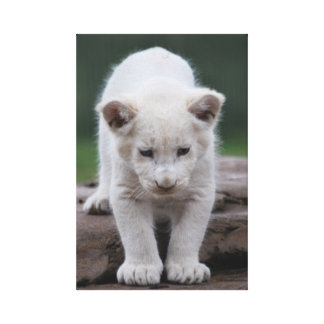 Baby white lion cub series stretched canvas prints