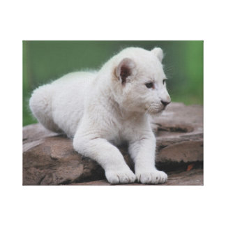 Baby white lion cub series stretched canvas print