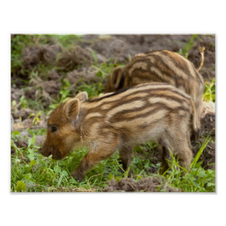 Baby Wild Boar Poster