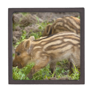 Baby Wild Boar Premium Trinket Box