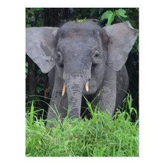 Baby wild Borneo Elephant Postcard