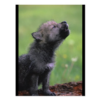 Baby Wolf Howls Postcard